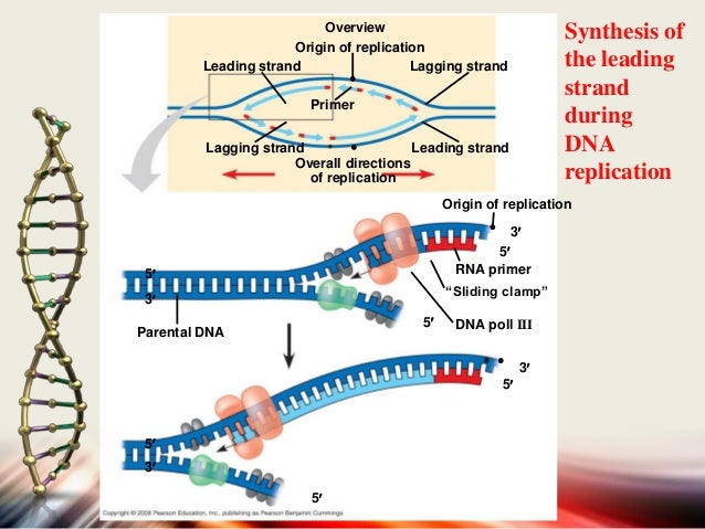 Gene expresssion for Explain how dna serves as its own template during replication