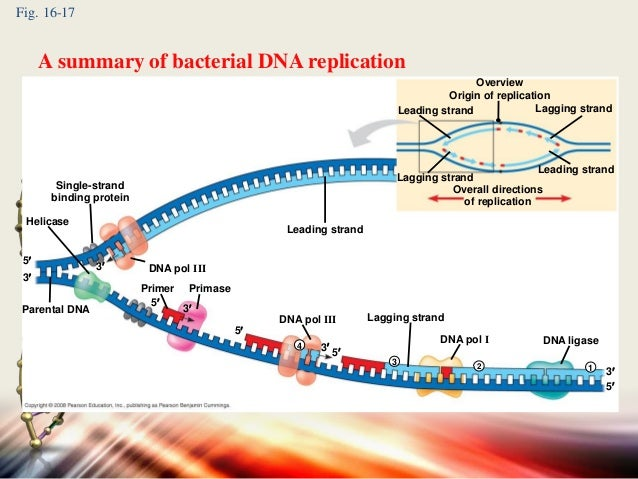 Bacterial dna replication acurnamedia bacterial dna replication ccuart Image collections