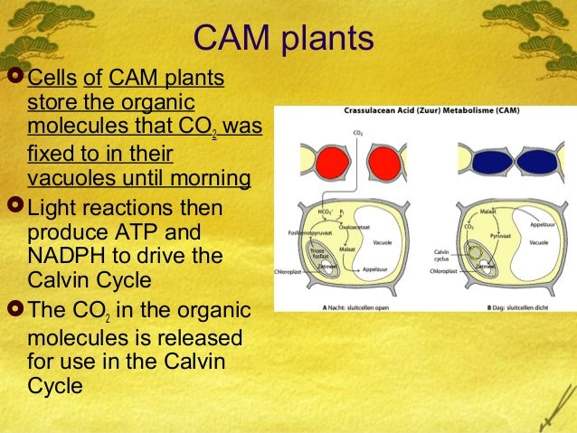 c4 and cam plants The basic differences in photosynthetic reactions in c3, c4, and cam plants we review the current understanding of the temperature responses of c3, c4, and cam photosyn- thesis, and then discuss the underlying physiological and biochemical mechanisms for temperature acclimation of photosynthesis.