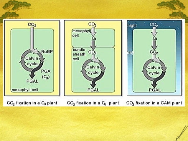 cam c4 Chapter 10 - c4 and cam 1 ap biology 2007-2008 photosynthesis: variations on the theme 2 ap biology remember what plants need photosynthesis light reactions light h2o calvin cycle co2 what structures have plants evolved to supply these needs ← sun ← ground ← air o o c.