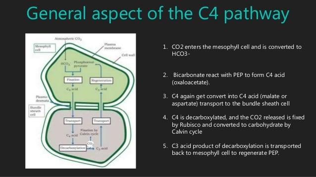 C4 cycle..