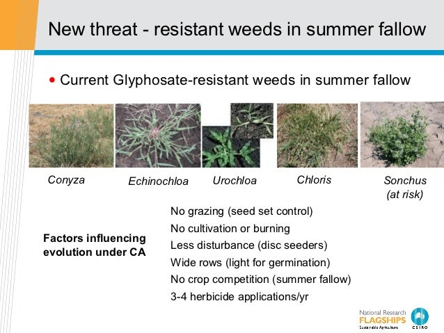 New threat - resistant weeds in summer fallow• Current Glyphosate-resistant weeds in summer fallowConyza         Echinochl...