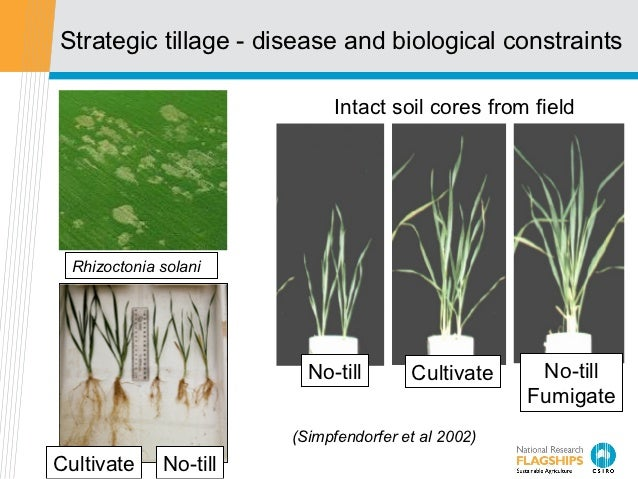 Strategic tillage - disease and biological constraints                             Intact soil cores from field  Rhizocton...