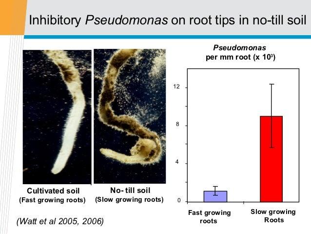Inhibitory Pseudomonas on root tips in no-till soil                                                         Pseudomonas   ...