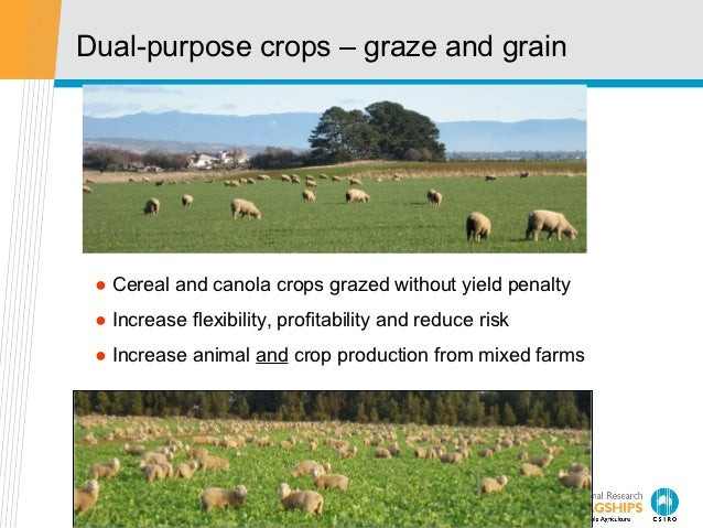 Dual-purpose crops – graze and grain ● Cereal and canola crops grazed without yield penalty ● Increase flexibility, profit...