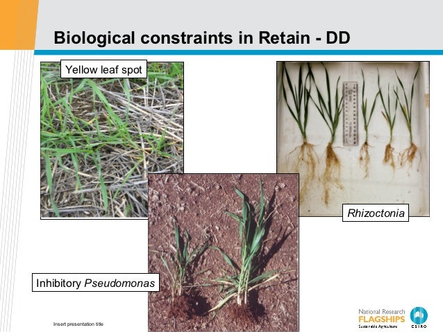 Biological constraints in Retain - DD        Yellow leaf spot                                       RhizoctoniaInhibitory ...