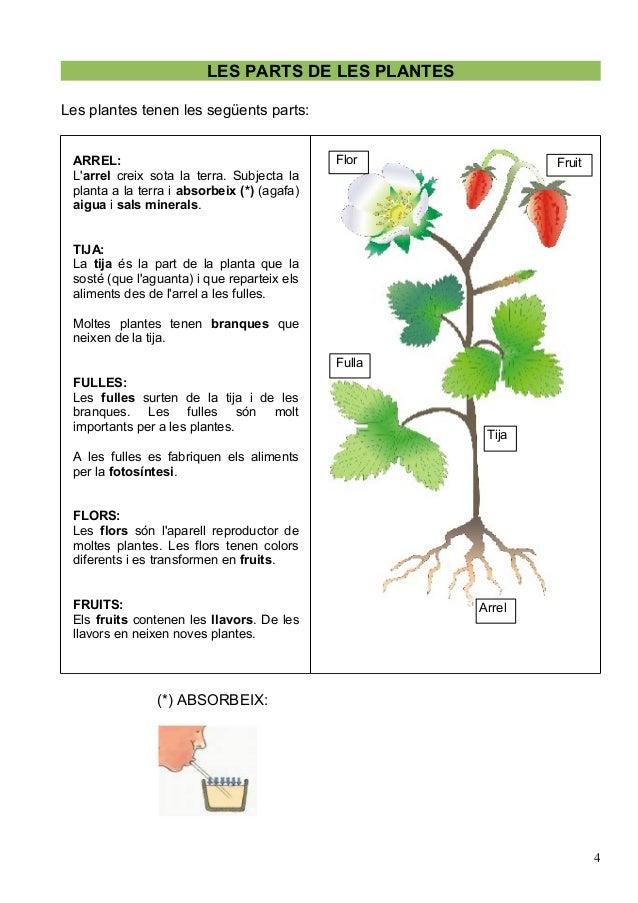 Les plantes parts cicle de la vida for Les plantes