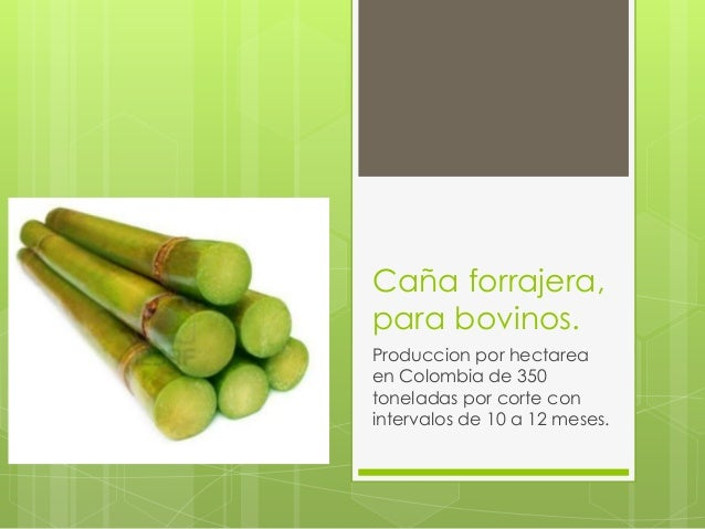 Caña forrajera, para bovinos. Produccion por hectarea en Colombia de 350 toneladas por corte con intervalos de 10 a 12 mes...