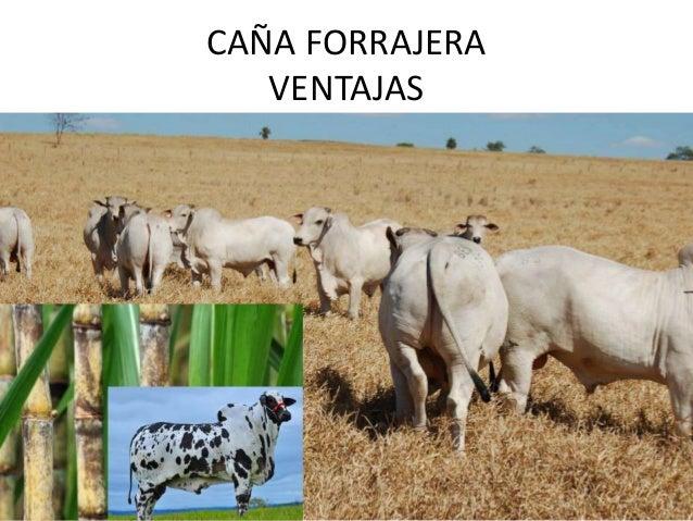 CAÑA FORRAJERA VENTAJAS