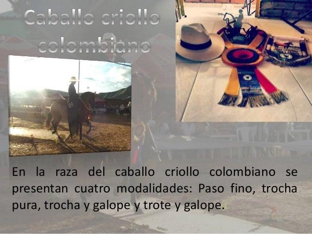 En la raza del caballo criollo colombiano se presentan cuatro modalidades: Paso fino, trocha pura, trocha y galope y trote...