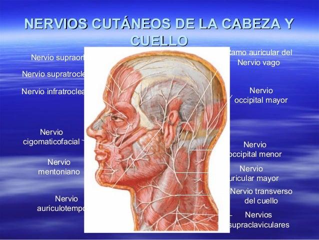 Cabeza y cuello anatomia
