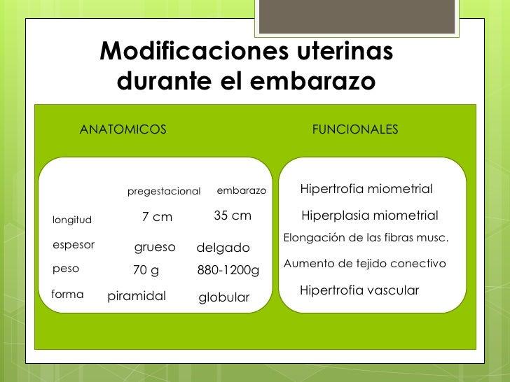 Modificaciones uterinas durante el embarazo<br />ANATOMICOS<br />FUNCIONALES<br />Hipertrofia miometrial<br />embarazo<br ...