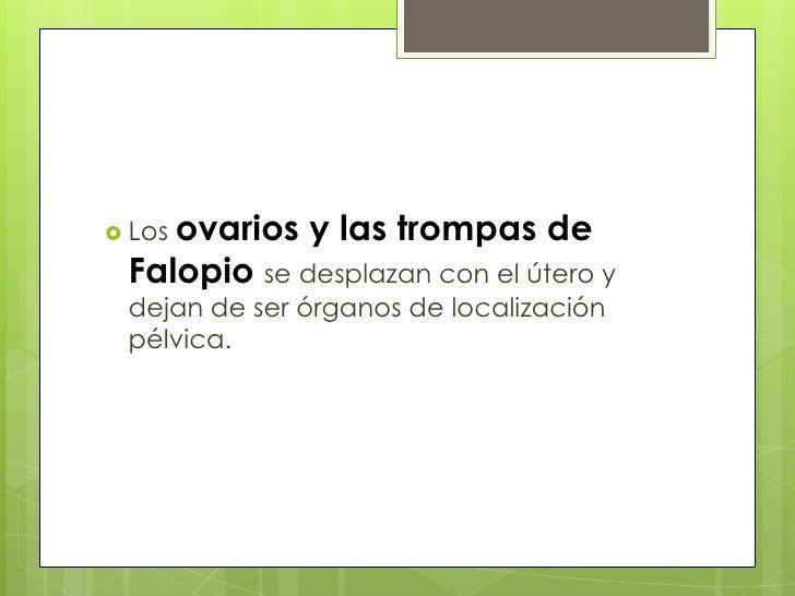 Los ovarios y las trompas de Falopio se desplazan con el útero y dejan de ser órganos de localización pélvica.<br />