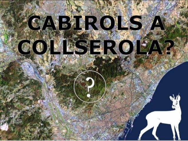 L'aparició d'indicis que      apunten vers unacolonització espontània del  cabirol a Collserola, ens obre la porta a refle...