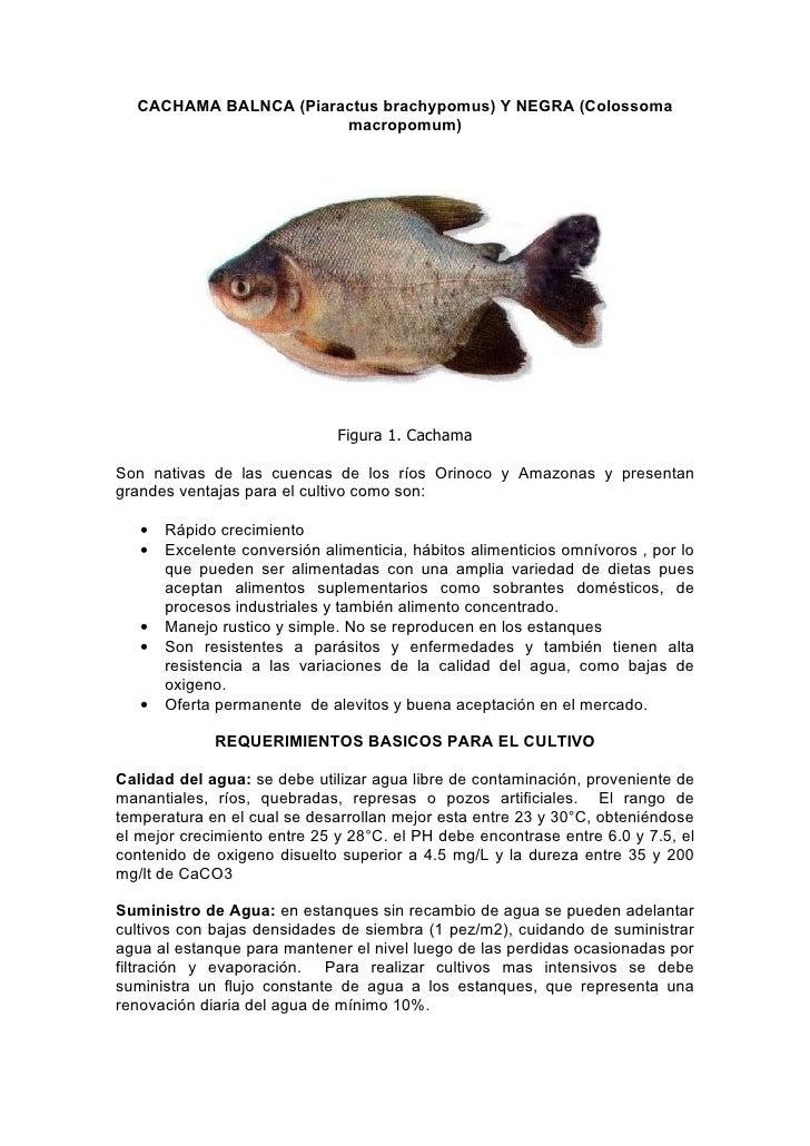 CACHAMA BALNCA (Piaractus brachypomus) Y NEGRA (Colossoma                       macropomum)                              F...