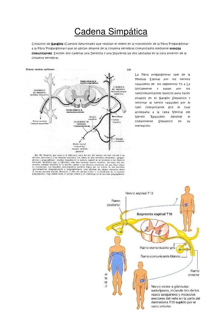 Cadena Simpática<br />-31178576517500Conjunto de Ganglios (Cuerpos Neuronales que realizan el relevo en la transmisión de ...