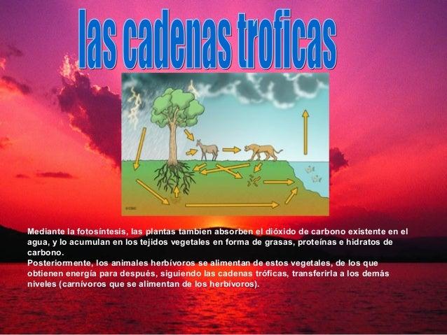 Mediante la fotosíntesis, las plantas tambien absorben el dióxido de carbono existente en el agua, y lo acumulan en los te...