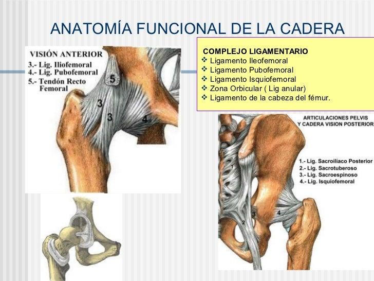 Asombroso Anatomía De Los Tendones Y Ligamentos De La Cadera ...