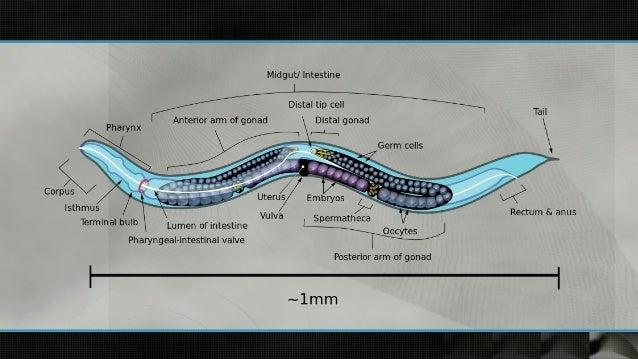 C Elegans Anatomy