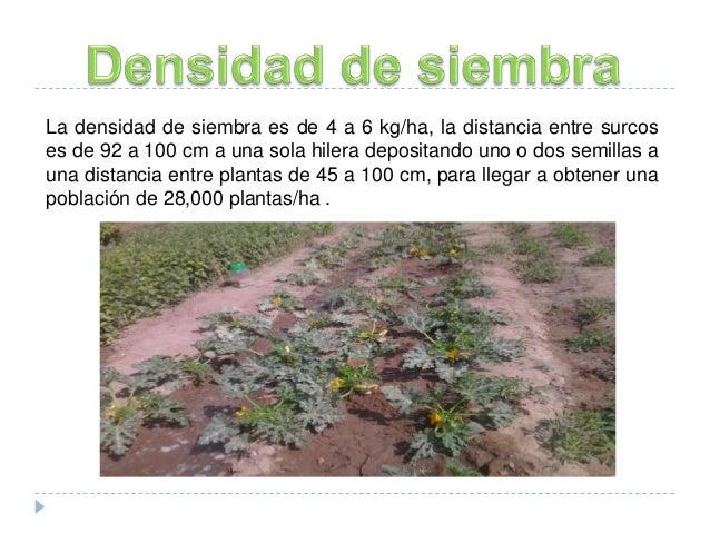 Calabacita cucurbita pepo for Densidad de siembra de tilapia