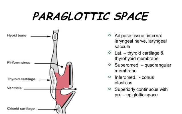 Anatomy of the larynx and vocal cords