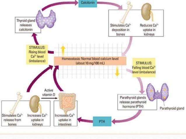 Calcium Metabolism And Vitamin D Deficiency. Wiring. Homeostasis Diagram Of Vit D At Scoala.co
