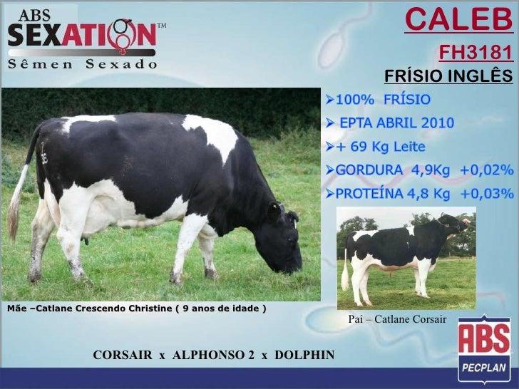 CALEB FH3181 FRÍSIO INGLÊS Mãe –Catlane Crescendo Christine ( 9 anos de idade )  Pai – Catlane Corsair CORSAIR  x  ALPHONS...