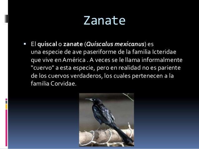 Zanate  El quiscal o zanate (Quiscalus mexicanus) es una especie de ave paseriforme de la familia Icteridae que vive en A...