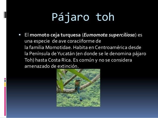 Pájaro toh  El momoto ceja turquesa (Eumomota superciliosa) es una especie de ave coraciiforme de la familia Momotidae. H...