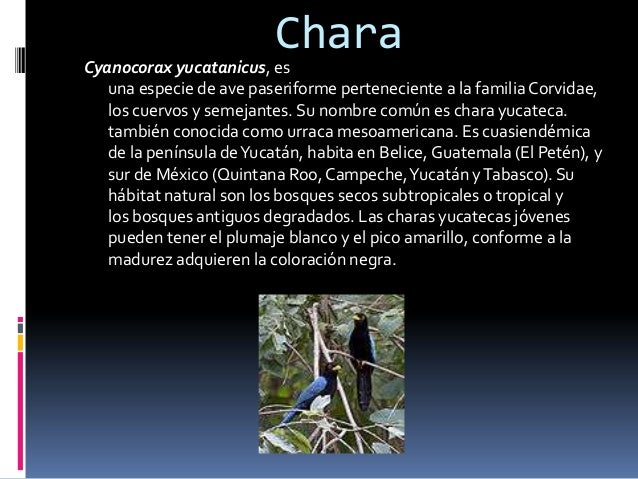 Chara Cyanocorax yucatanicus, es una especie de ave paseriforme perteneciente a la familia Corvidae, los cuervos y semejan...