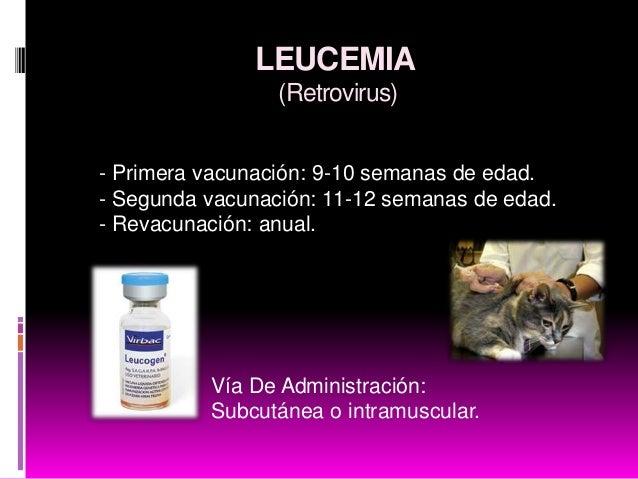 Vacunas Gatos Calendario.Calendario De Vacunacion Gatos