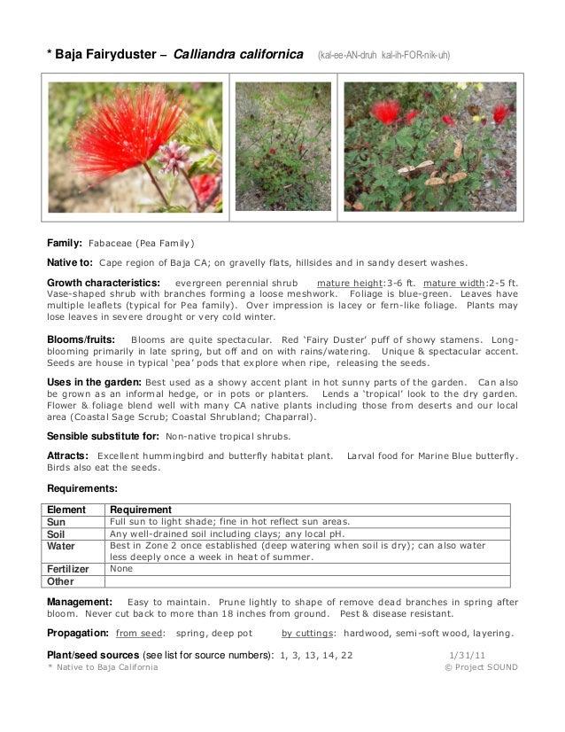 * Baja Fairyduster – Calliandra californica  (kal-ee-AN-druh kal-ih-FOR-nik-uh)  Family: Fabaceae (Pea Family) Native to: ...