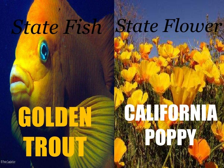 State Fish<br />State Flower<br />CALIFORNIA<br />POPPY<br />GOLDEN<br />TROUT<br />