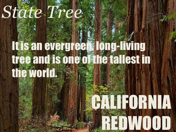 State Tree<br />It is an evergreen, long-living tree and is one of the tallest in the world.<br />CALIFORNIA REDWOOD<br />