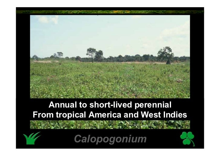 Annual to short-lived perennial From tropical America and West Indies           Calopogonium