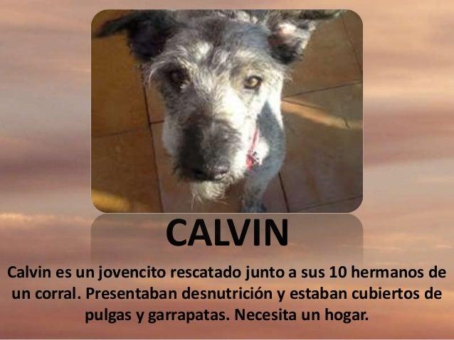 CALVIN Calvin es un jovencito rescatado junto a sus 10 hermanos de un corral. Presentaban desnutrición y estaban cubiertos...