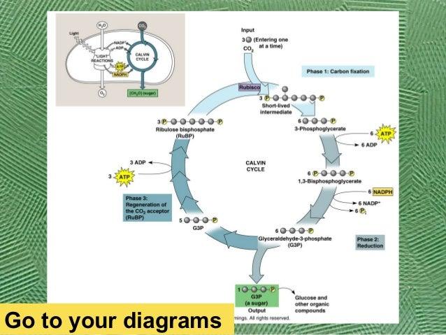 AP Bio Ch 10 Calvin cycle – Calvin Cycle Worksheet