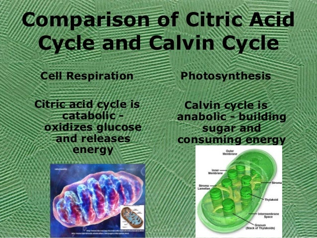citric acid cycle and calvin cycle