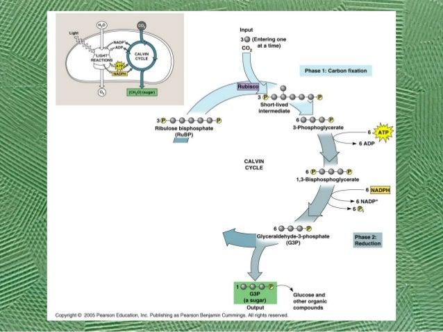 Ap Biology Photosynthesis Calvin Cycle