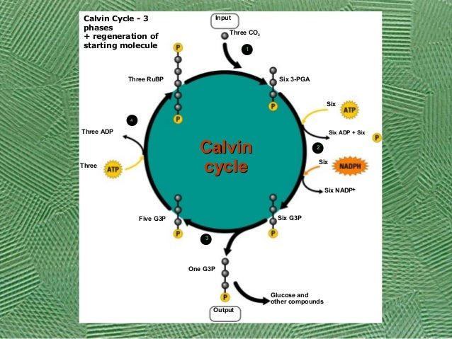 cellular respiration essay test questions Cell biology test questions 1 individual cells are usually very small because a small cells contain a greater quantity of enzymes than large cells b materials move in and out of small.