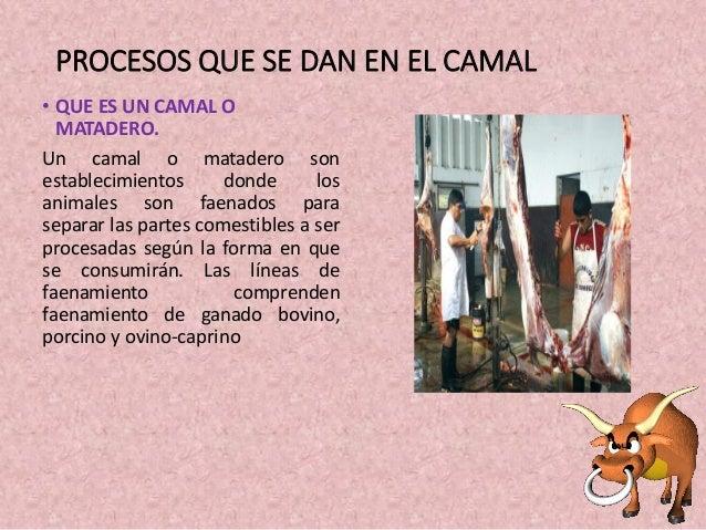 PROCESOS QUE SE DAN EN EL CAMAL • QUE ES UN CAMAL O MATADERO. Un camal o matadero son establecimientos donde los animales ...