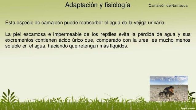 Camaleon-Fisiologia y adaptacion