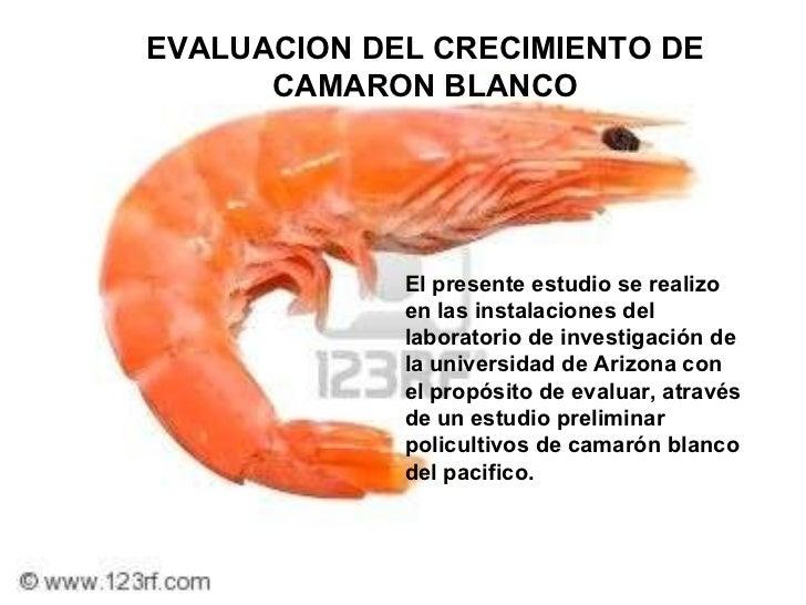 EVALUACION DEL CRECIMIENTO DE CAMARON BLANCO El presente estudio se realizo en las instalaciones del laboratorio de invest...