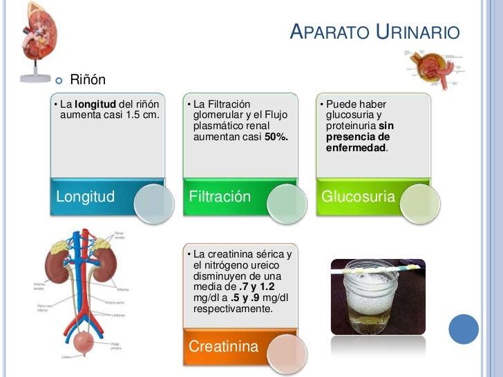 APARATO URINARIO   Riñón• La longitud del riñón   • La Filtración             • Puede haber  aumenta casi 1.5 cm.      gl...