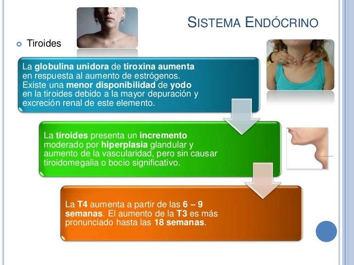 SISTEMA ENDÓCRINO    Tiroides    La globulina unidora de tiroxina aumenta    en respuesta al aumento de estrógenos.    Ex...