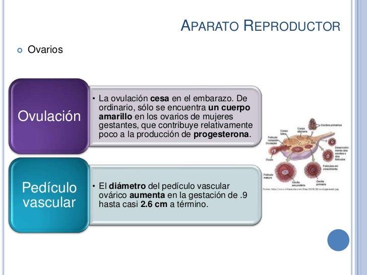 APARATO REPRODUCTOR   Ovarios              • La ovulación cesa en el embarazo. De                ordinario, sólo se encue...