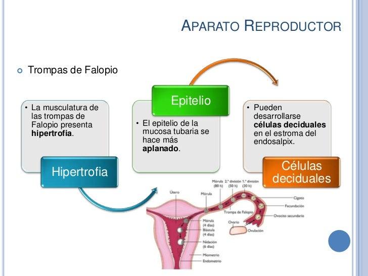 APARATO REPRODUCTOR   Trompas de Falopio    • La musculatura de                                   Epitelio     • Pueden  ...