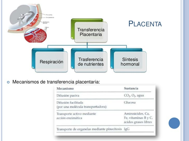 PLACENTA                                 Transferencia                                  Placentaria                       ...