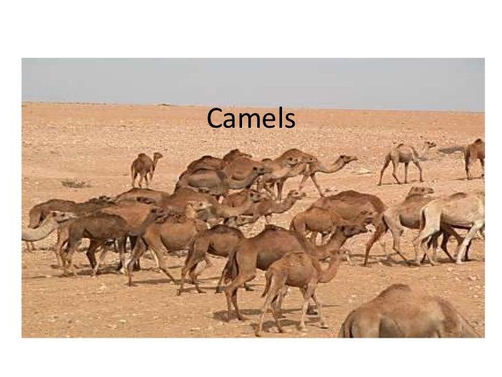 Camels<br />