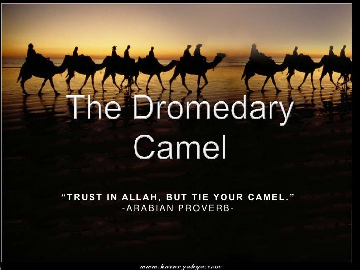 "The Dromedary Camel<br />""Trust in Allah, but tie your camel.""<br />-Arabian Proverb-<br />"